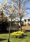 Blossom_daffs